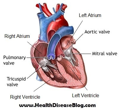 The Heart Chambers and Valves