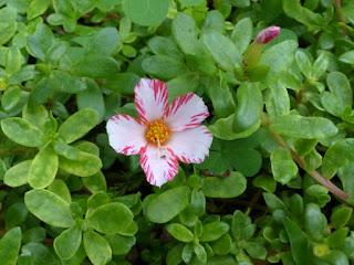 Portulaca grandiflora - Pourpier à grandes fleurs