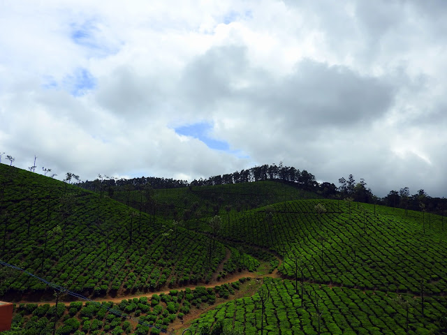 There is no such thing as too much tea | Valparai (May 2016)