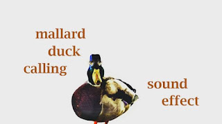 animal duck sounds