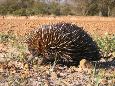 Echidna puzzle for evolution
