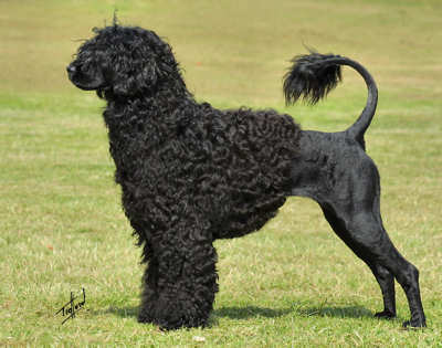 Grooming  Portuguese Water Dogs
