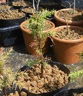 杉のミニ盆栽②