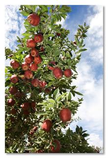 almafa - Hat fájó igazság