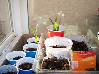 Starting corn seeds in window