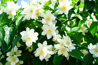 Jenis Bunga melati paling harum sedunia