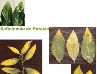 Manual de fertilizaci n en citricos y como desarrollar e for Potasio para plantas