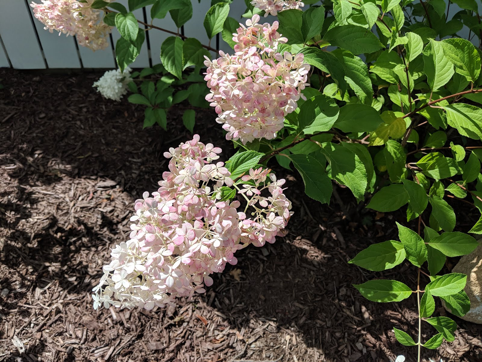 Our Vanilla Strawberry Hydrangeas Are Turning Later This Year