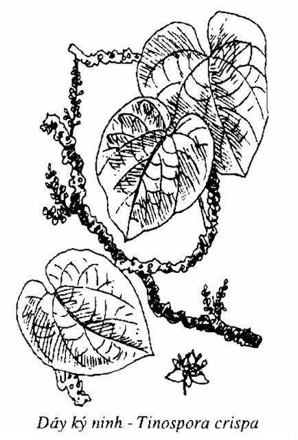 Hình vẽ Dây Ký Ninh - Tinospora crispa - Nguyên liệu làm thuốc Chữa Cảm Sốt