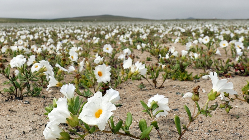 flores silvestres color blanco