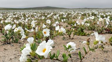 Flores en Atacama. El desierto más árido del planeta vuelve a florecer
