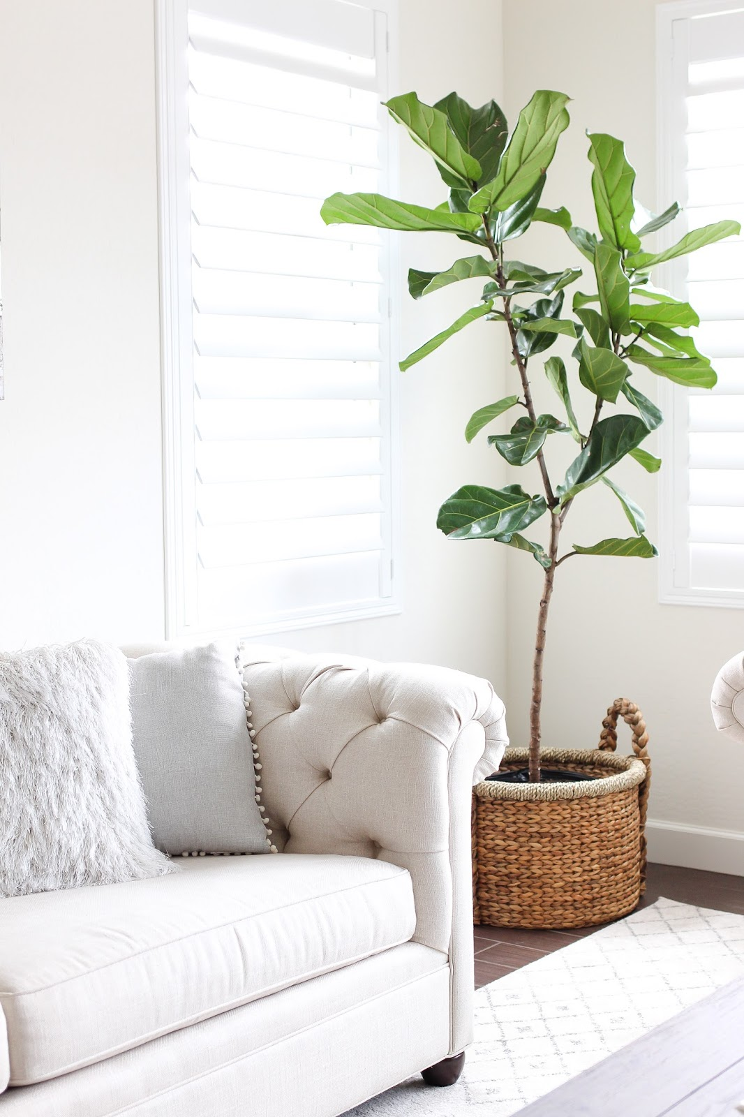 fiddle leaf fig tree - indoor plants - home decor - simply sutter