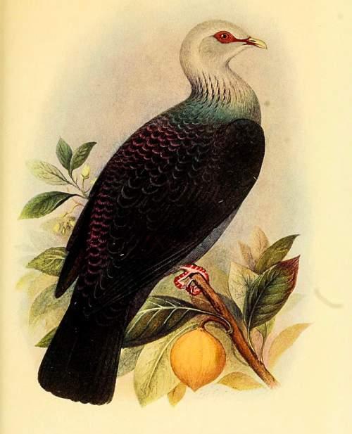 Indian birds - Picture of Andaman wood pigeon - Columba palumboides
