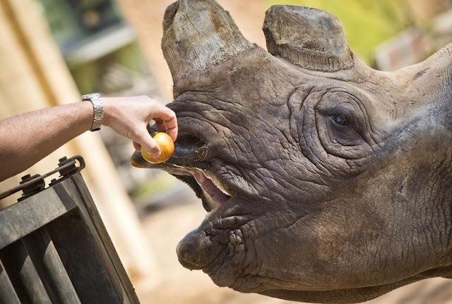 Rinoceronte no Los Angeles Zoo