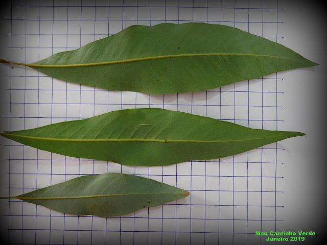 leaf CACHO-DE-MARFIM - ( Buckinghamia celcissima )
