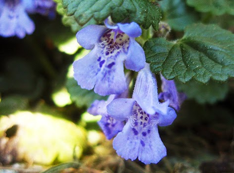 Hiedra terrestre (Glechoma hederacea) flor silvestre azul