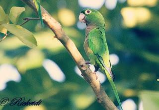 Olive's Lovebird