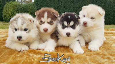 Cachorros husky siberiano SIROKAMI