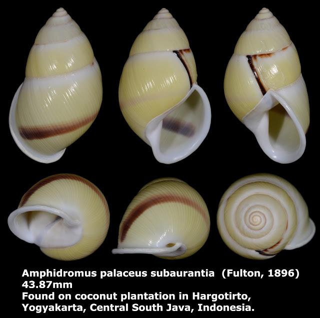 Amphidromus palaceus subaurantia 43.87mm