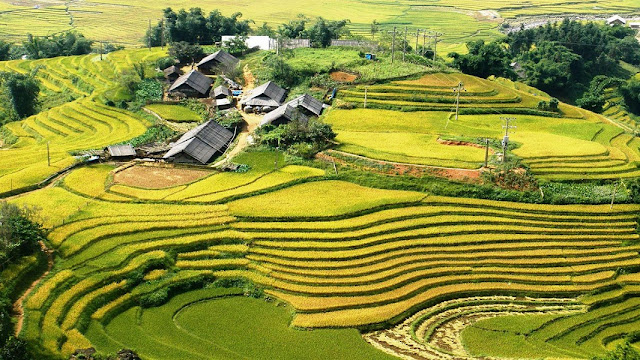 Joyful havest day on terraced rice at Lao Chai - Ta Van Villages