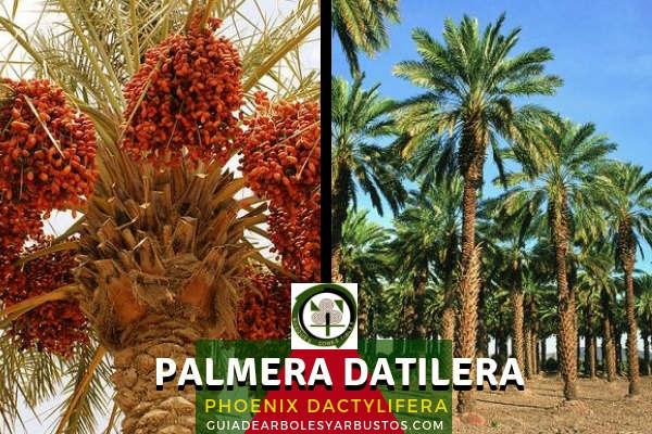 La Palmera Datilera, Phoenix dactylifera, tambien conocida como Datilera, Datilero, Palma