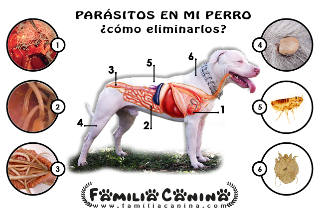 Familia Canina: Parásitos en mi Perro. ¿Cómo eliminarlos?