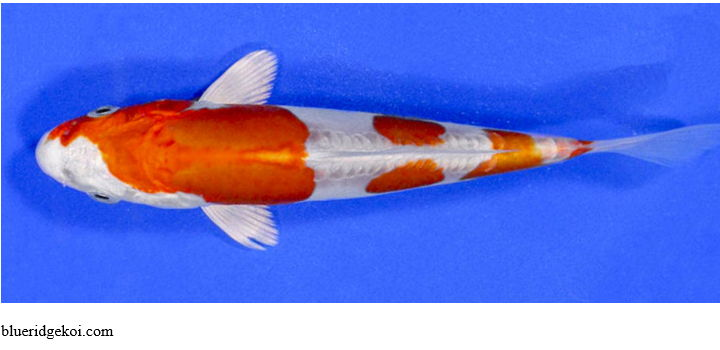 Gambar Ikan Koi Tancho Kikusui