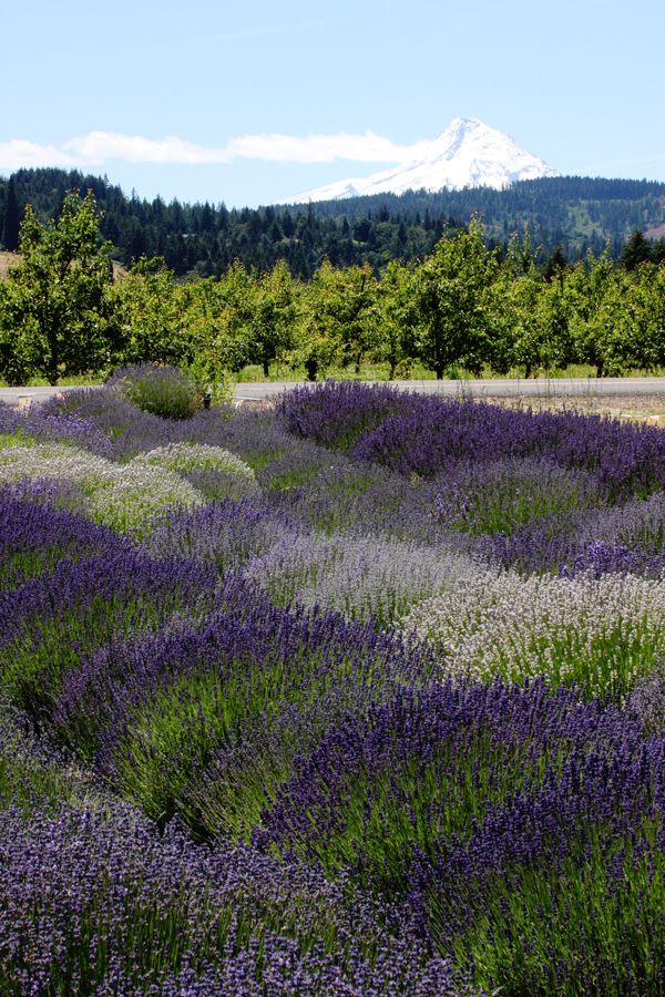Lavender fields and a view of snow-capped Mount Hood