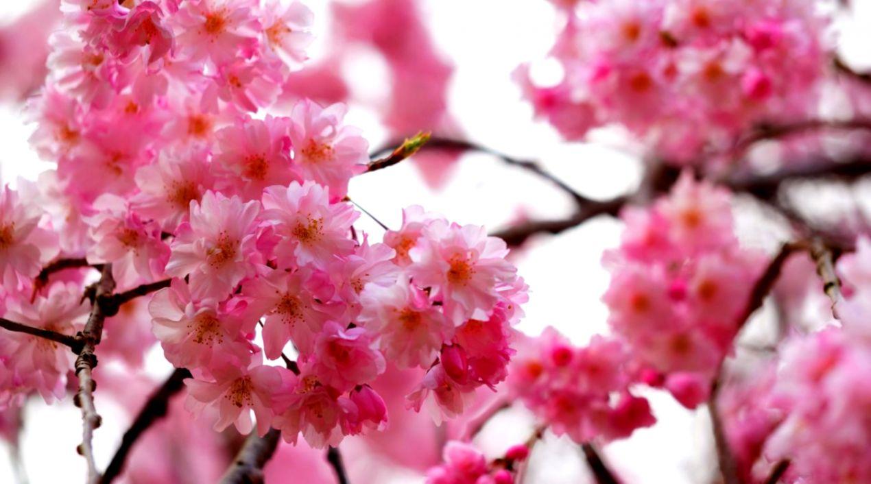 Flowers Sakura Blossoms Spring Hd Wallpapers Dir Wallpapers