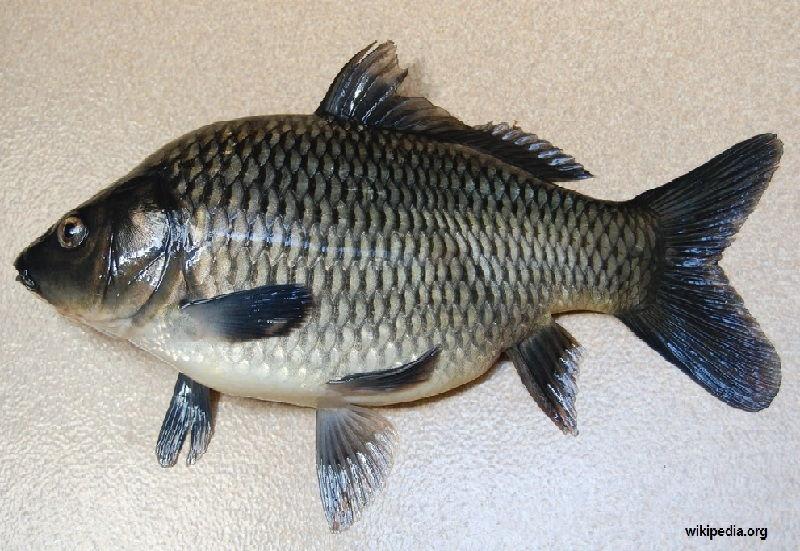 Gambar umpan ikan tombro majalaya yang terbukti jos dan ampuh