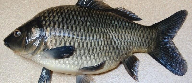 Umpan Ikan Tombro Buatan Sendiri yang Sudah Teruji