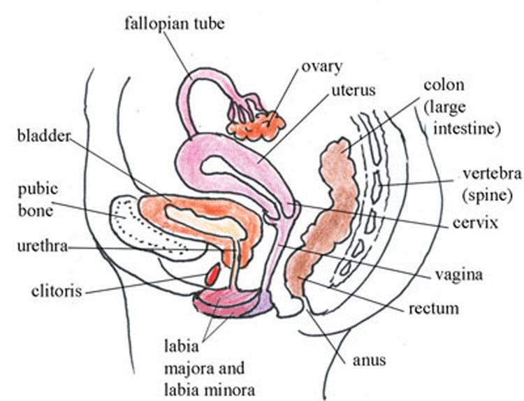 Female clit diagram