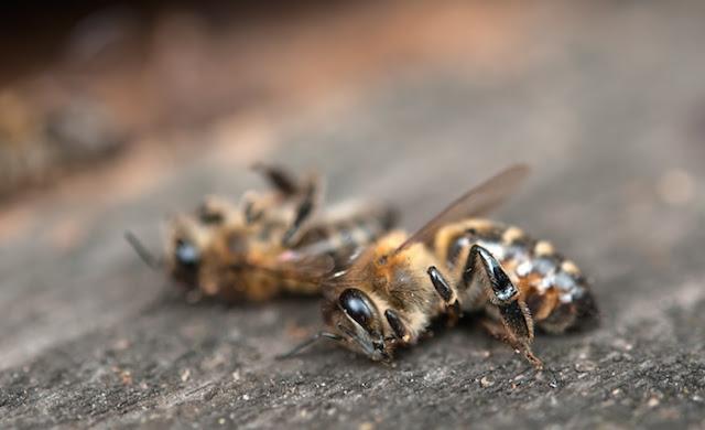 Muerte de abejas, impacto en la producción.