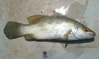 Ikan Siakap Gelam