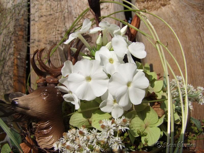 weißer Phlox im Garten