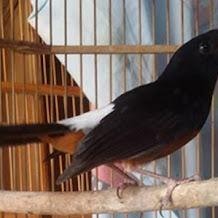 Cara Mengatasi Peforma Burung Murai Batu Yang Kurang Ngotot