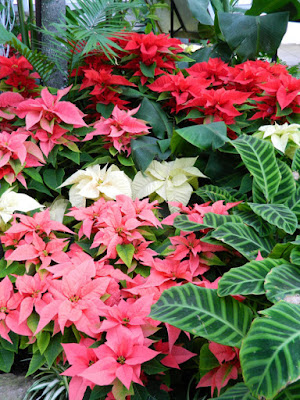 Layers poinsettias Allan Gardens Conservatory Christmas Flower Show 2015 by garden muses-not another Toronto gardening blog