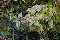 Stinging Nettle Near the End of its Life