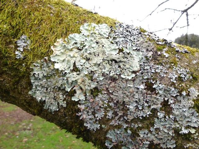 Lichen on a tree in Kew Gardens