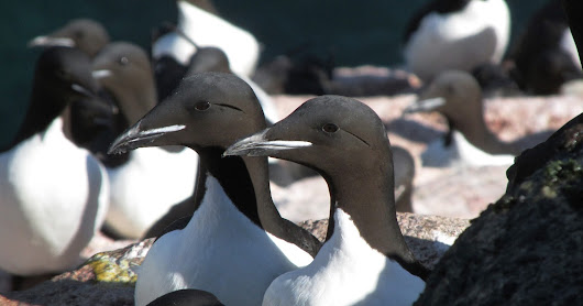 Arctic Work 2016: The Murres