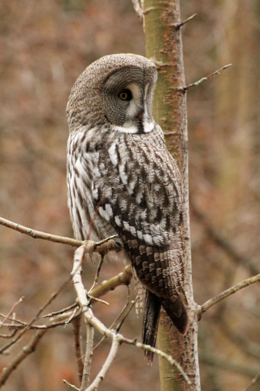 OSLO BIRDER: Great Grey Owl again