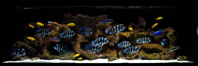 Hồ cá cảnh nuôi ali