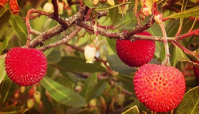 Fruto madroño