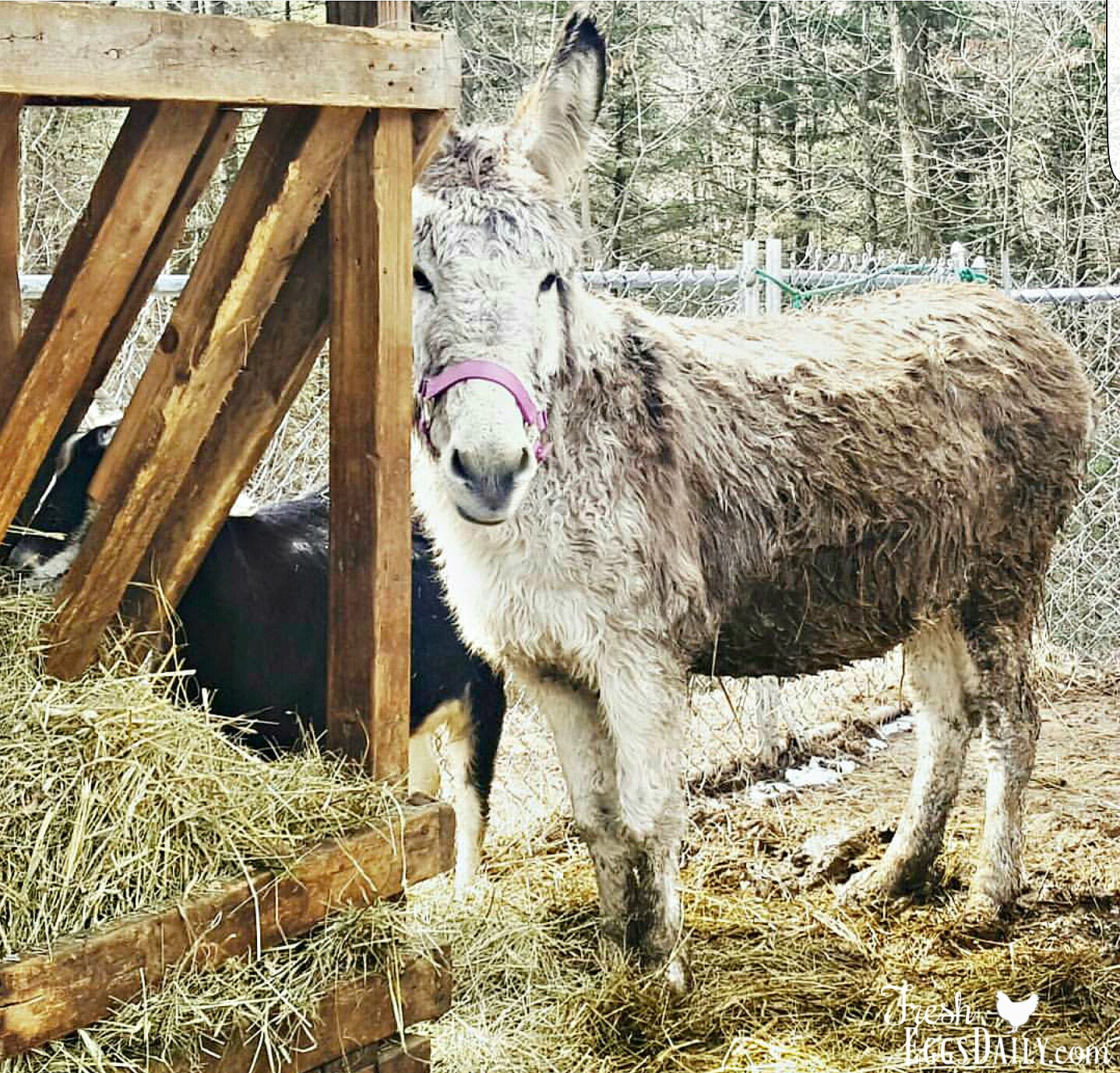 Donkeys make great guard animals for your smaller animals chickens ducks goats etc gladly taking on coyotes or neighbors dogs that might venture to