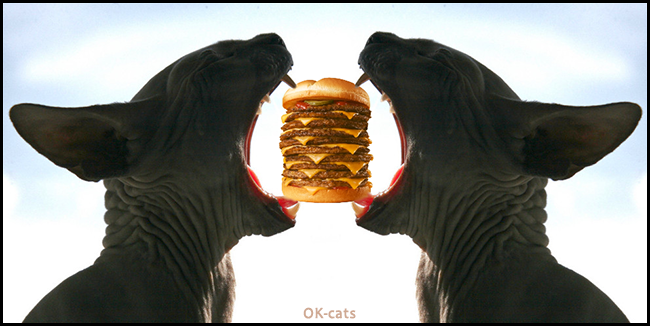 """Photoshopped Cat picture • Only one mini cheeseburger for 2 hungry Sphynx Cats """"Mine! """"Nope, mine!"""""""