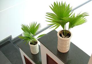 Cọ cảnh - cây xanh cải thiện tia bức xạ trong văn phòng