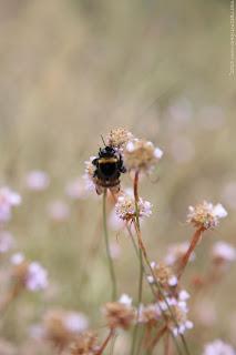 Bourdon terrestre (Bombus terrestris) sur Armérie des Sables, Fontainebleau, (C) Greg Clouzeau