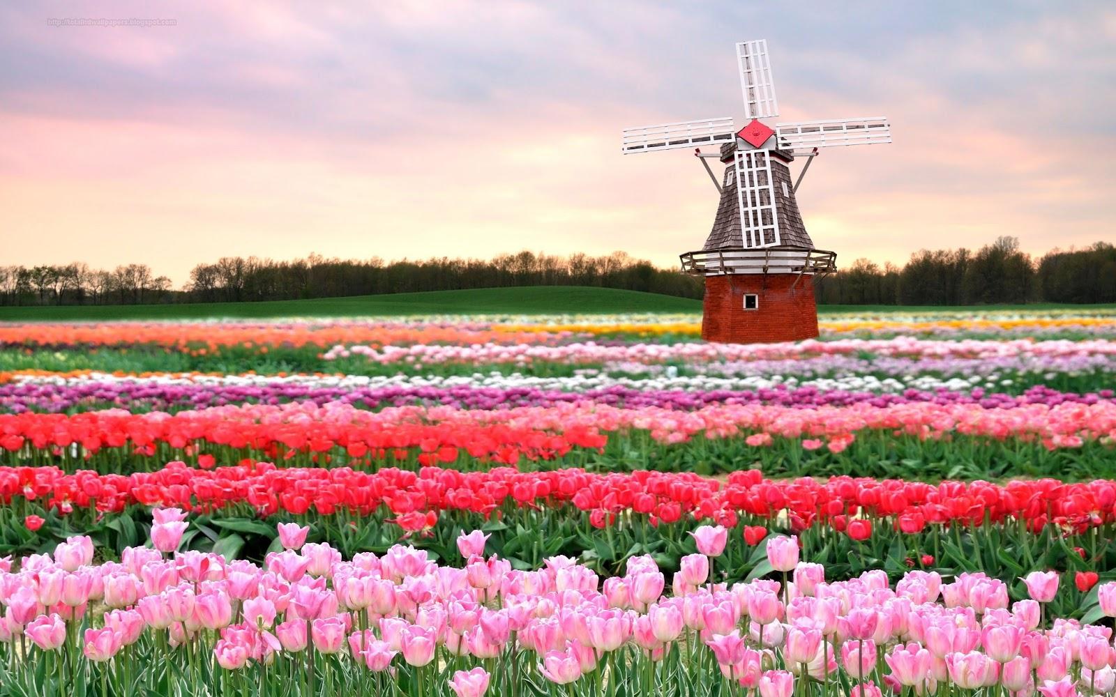 Iphone Wallpaper: Tulip Wallpapers Hd