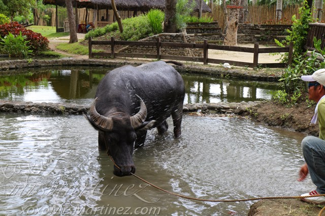 Carabao picture funny