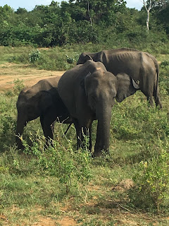 Elephants at Ude Walawe